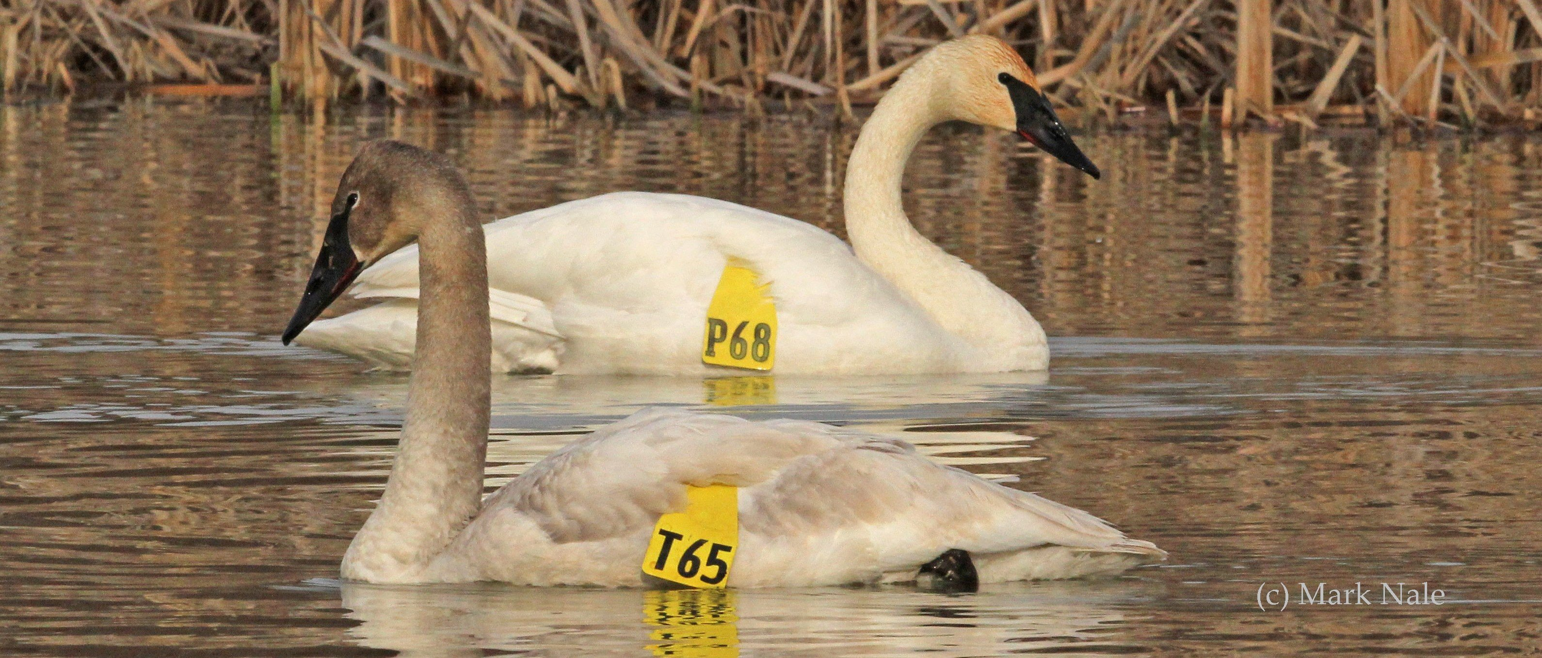 When you report a collared swan to Ebird and The Trumpeter Swan Society, you help track new migration sites and resting areas