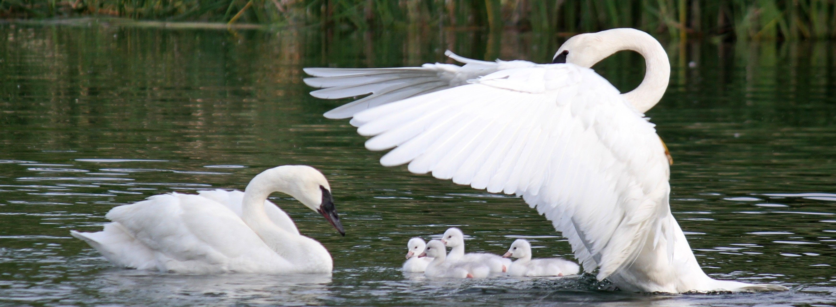 The Trumpeter Swan Society's programs span across North America