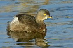 Least Grebe (nonbreeding plumage)