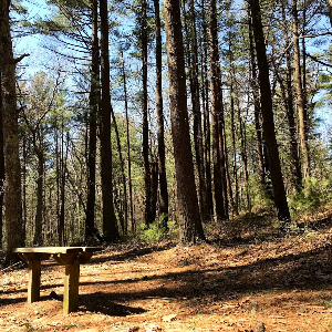 A bench sits under a stand of pines