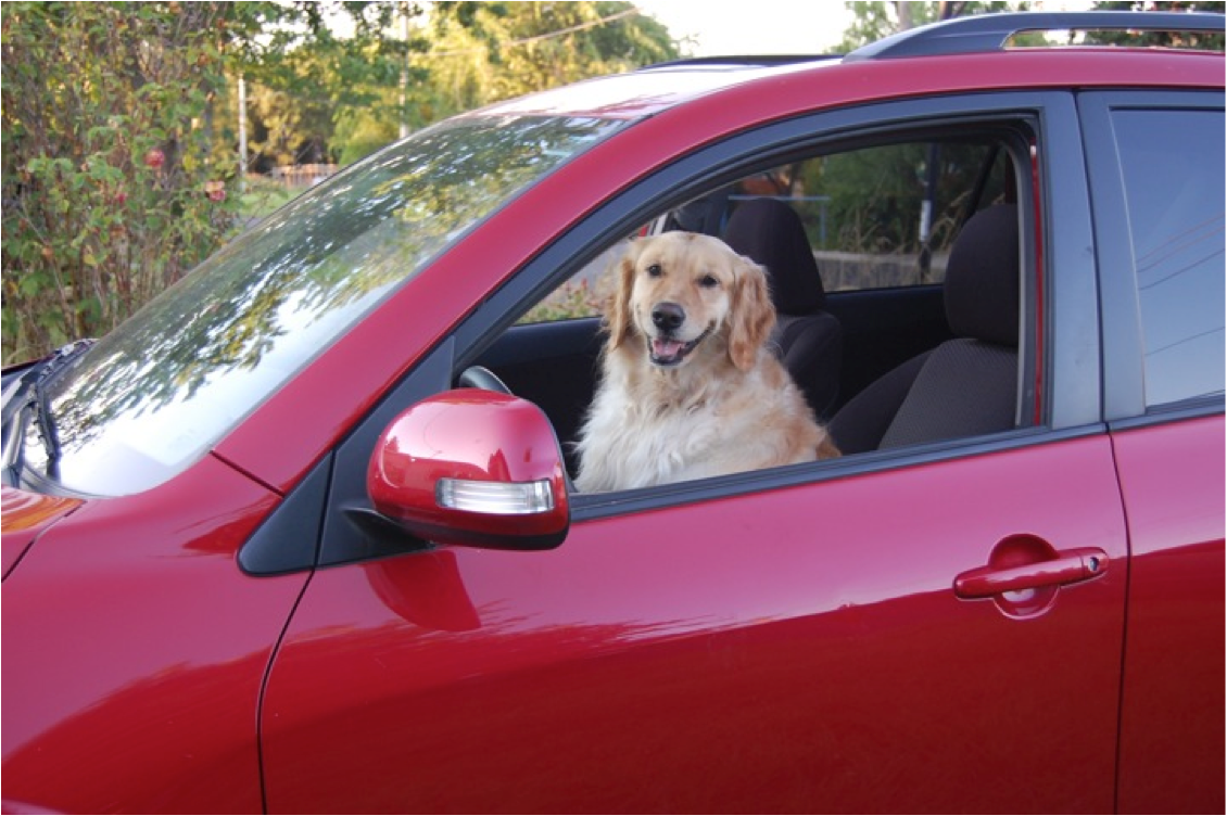 This is a picture of the author's dog in the front seat of her red car