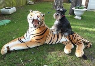 Tessie's Tigers (Roxanne)