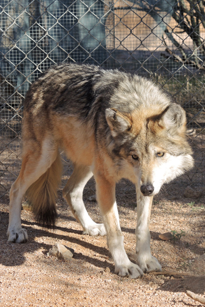 F811 Esperanza Mexican Gray Wolf Southwest Wildlife Scottsdale Arizona