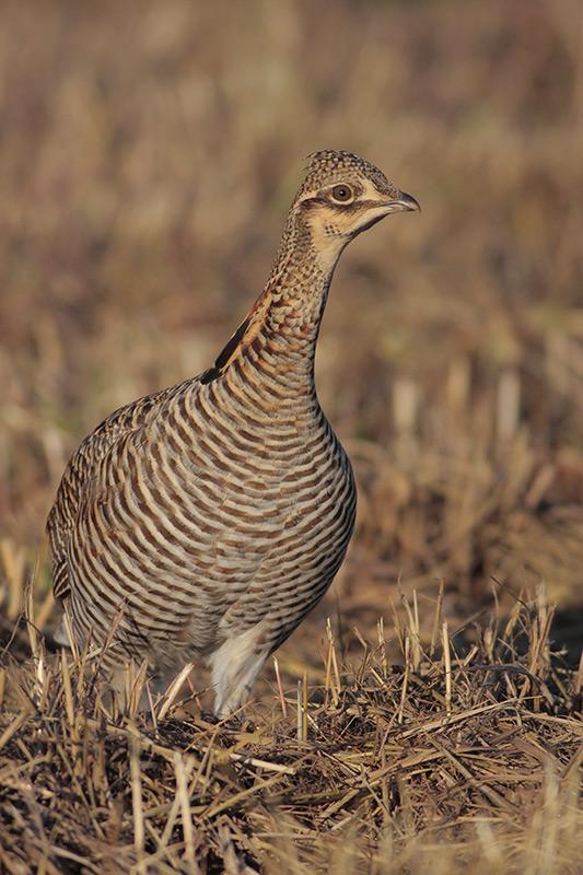Attwater's Prairie-Chicken