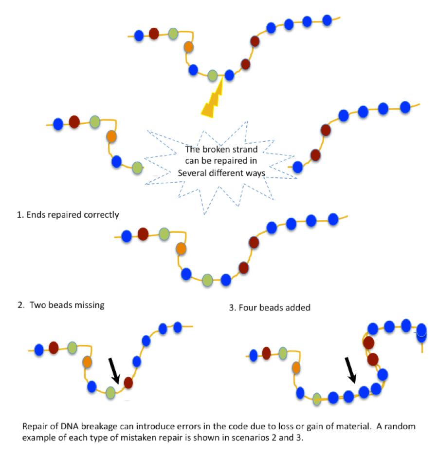 Image of repair 3 repair scenarios: Repair of DNA breakage can introduce errors in the code due to loss or gain of material. A random example of each type of mistaken repair is shown in scenarios 2 and 3.