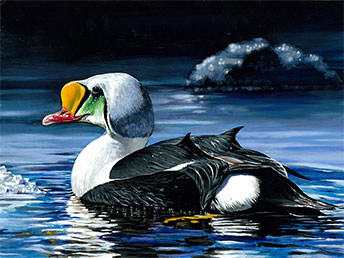 King Eider Painting to Grace 2014-15 Junior Duck Stamp