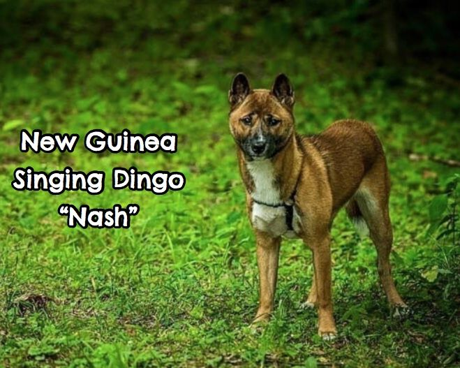 Nash, New Guinea Singing Dog (Dingo)