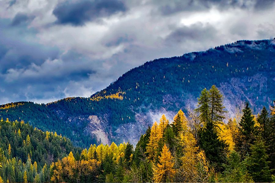 Green and gold pine tress lining a Montana mountain during the fall season
