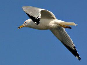 Beak of the Week: Ring-billed Gull