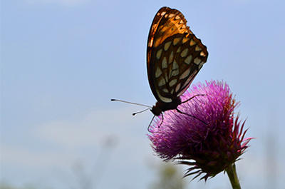Regal Fritillary Butterfly
