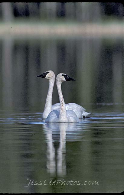 Yellowstone National Park holds meeting about Trumpeter Swan future