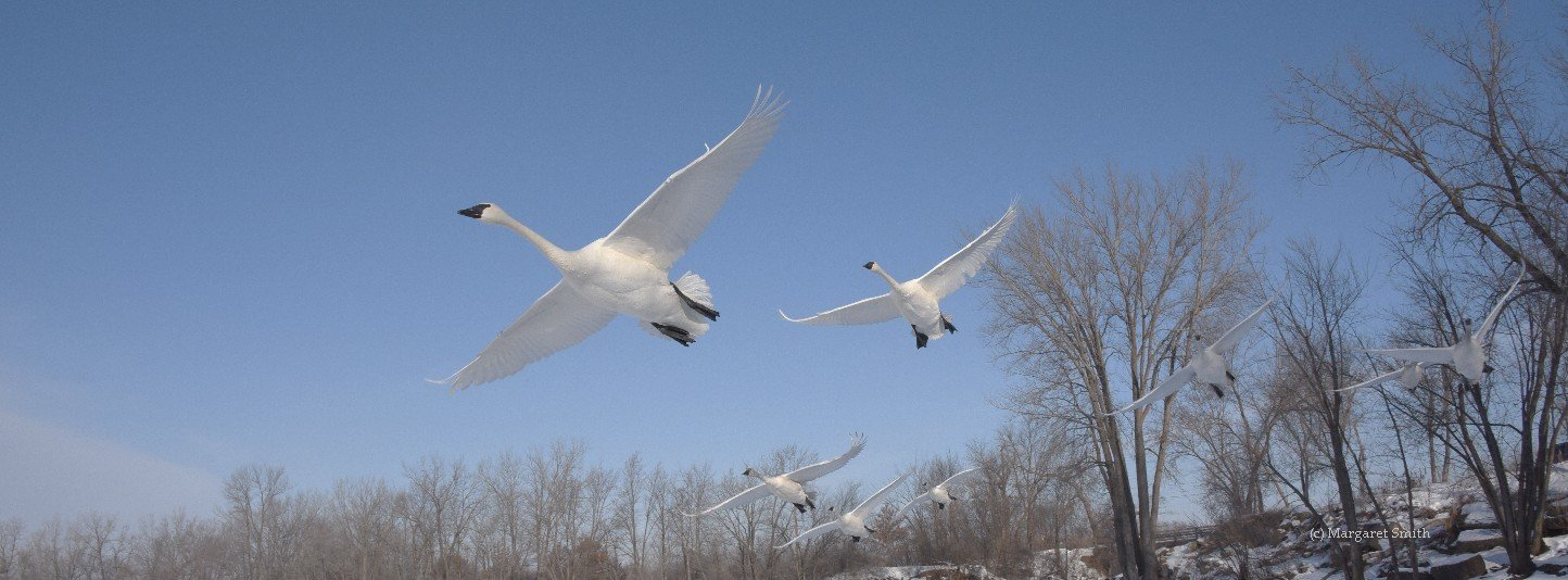 The Trumpeter Swan Society works across North America's 4 flyways