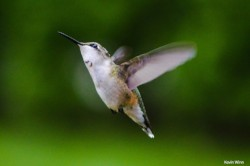 Ruby-throated Hummingbird by Kevin Winn