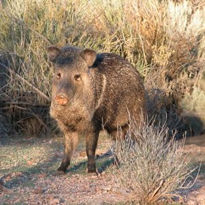 How do I discourage javelina?