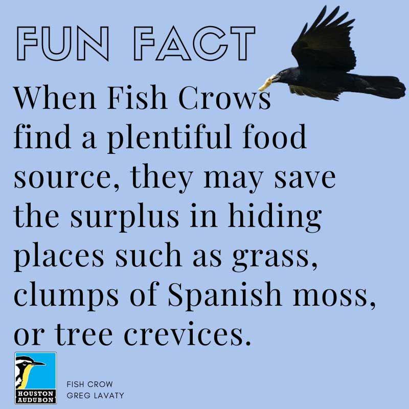Fish Crow fun fact