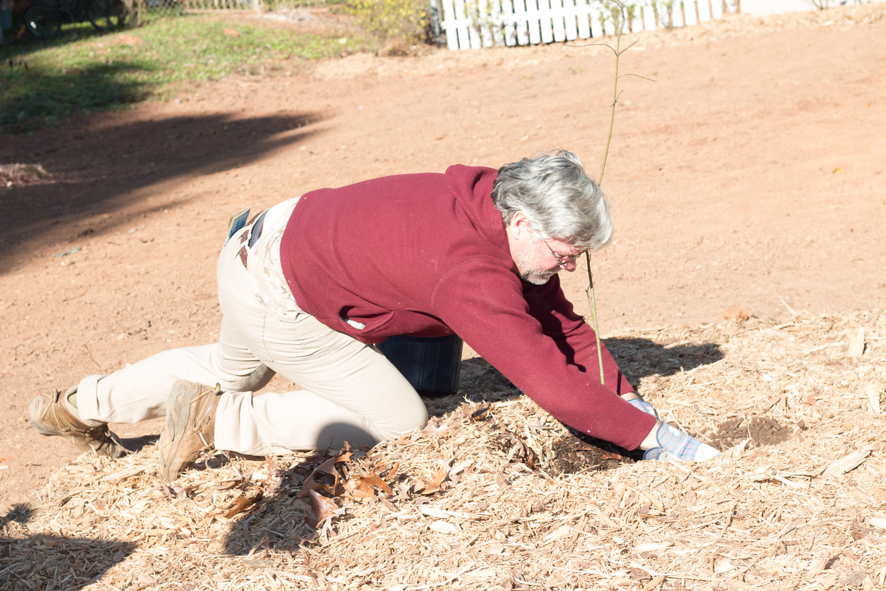 Barrie Steele, Plant Rescue of Georgia, plants a donated Japanese Maple