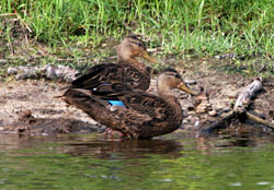 Beak of the Week: Mottled Duck