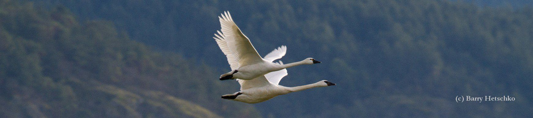 Trumpeter Swans and Tundra swans look much alike and differences can be seen when side by side