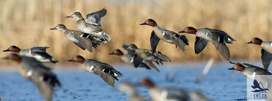 Delta Waterfowl Wallpaper Green-winged teal