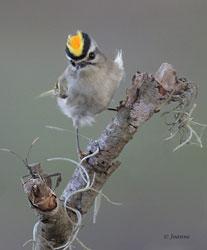 Beak of the Week: Golden-crowned Kinglet