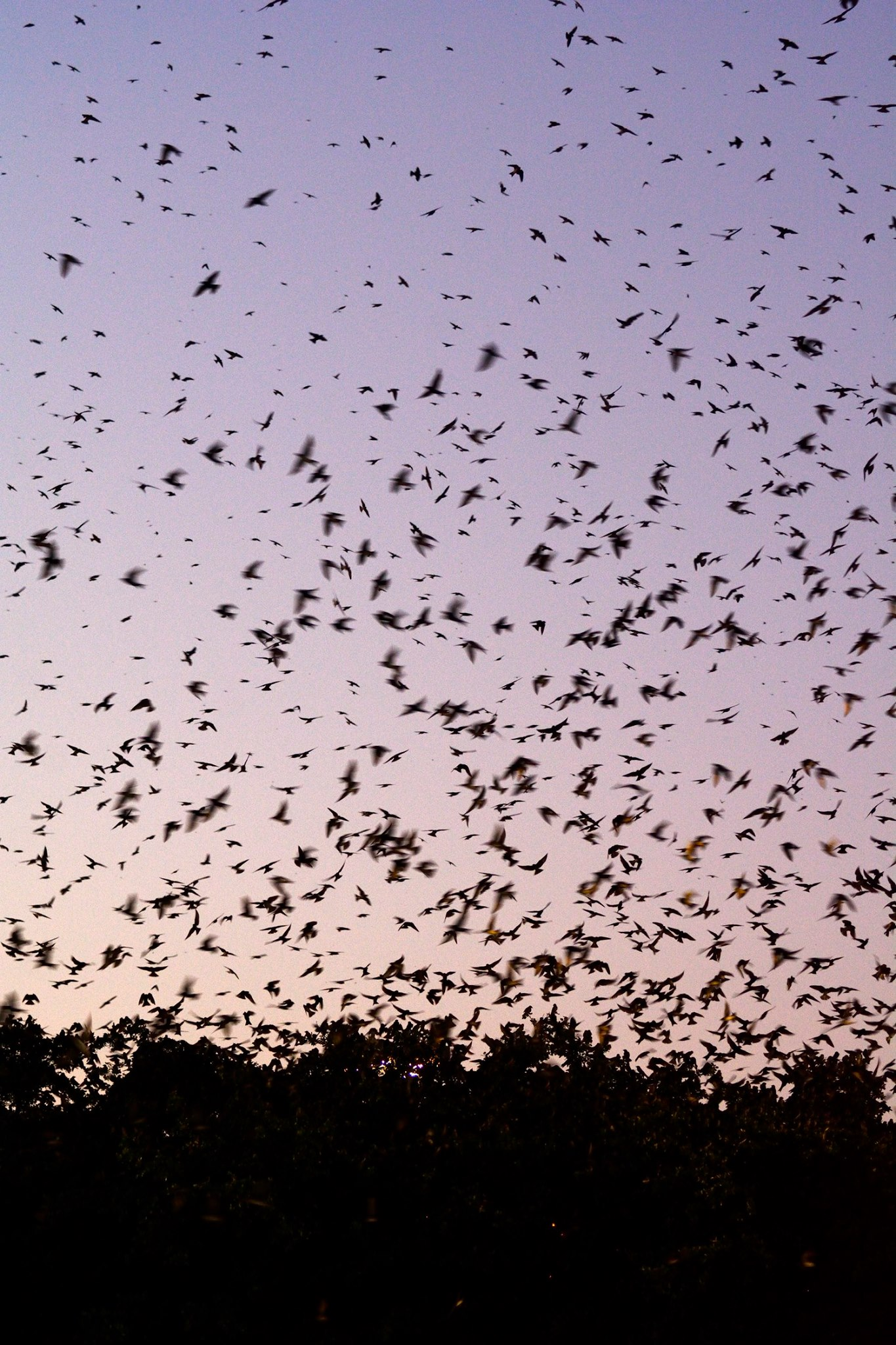 Purple Martin Watch Party