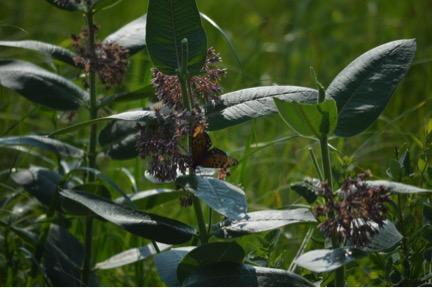 Habitat Management Plan for the Regal Fritillary