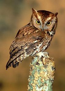 Eastern Screech Owl Bird Gallery Houston Audubon