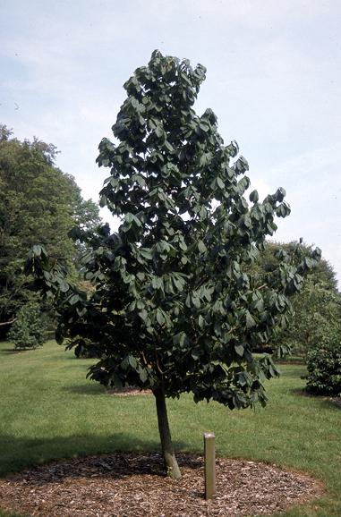 """Pawpaw - Pack of 5 Seedlings (12""""-18"""")"""