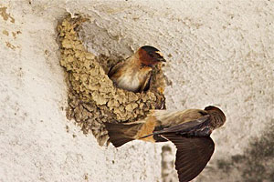 Beak of the Week: Cliff Swallow