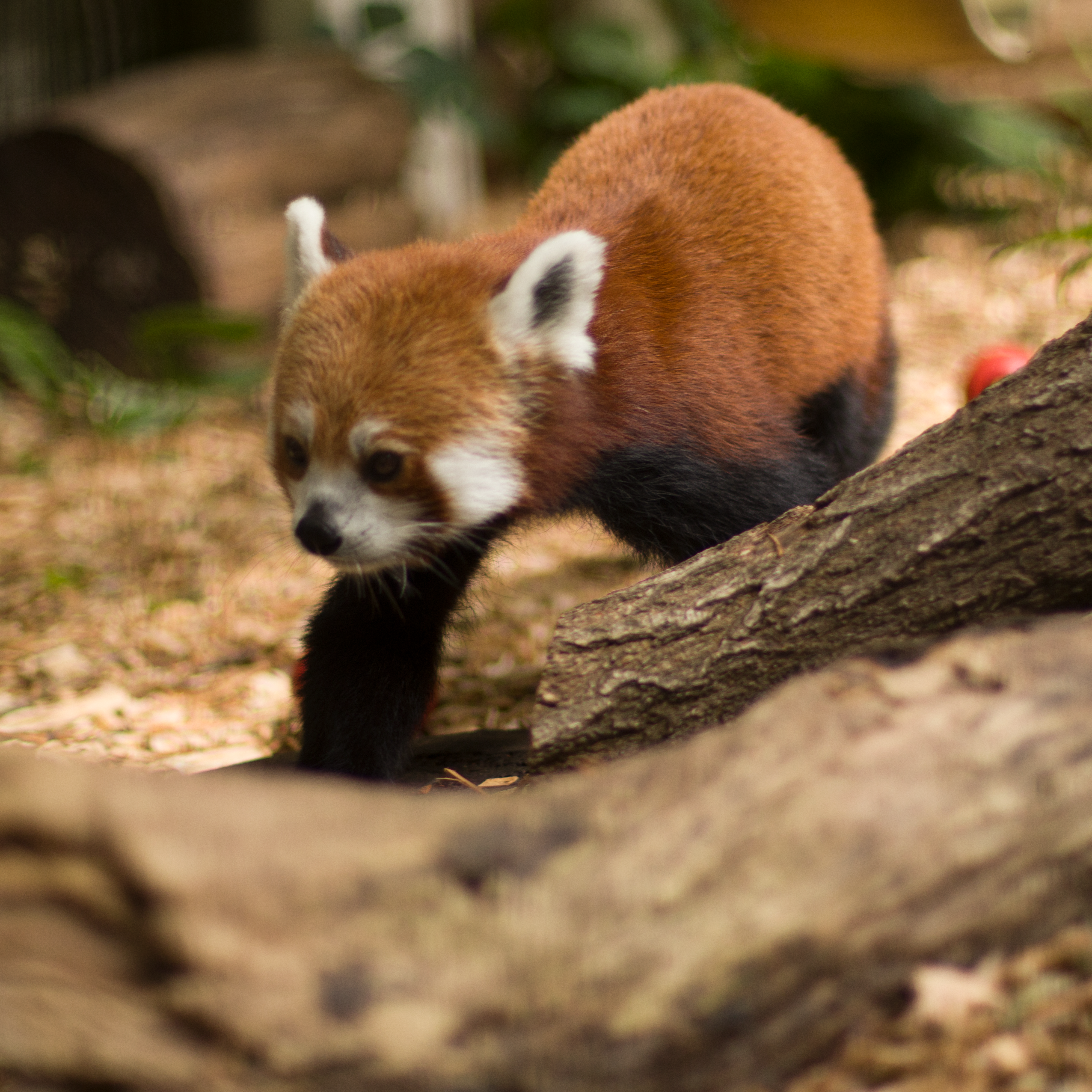 Tink the Red Panda