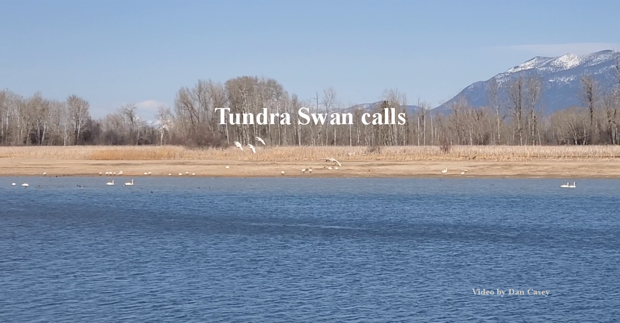 Tundra Swan voice and call video