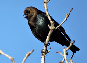 Beak of the Week: Brown-headed Cowbird