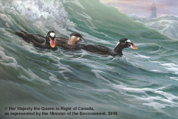 Surf Scoters Featured on 2016 Canadian Conservation Stamp