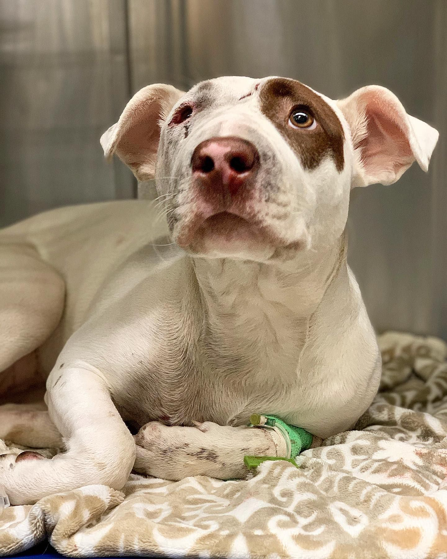Sweet, Loving Pit bull Left Injured in a Hit and Run (OneGreenPlanet)