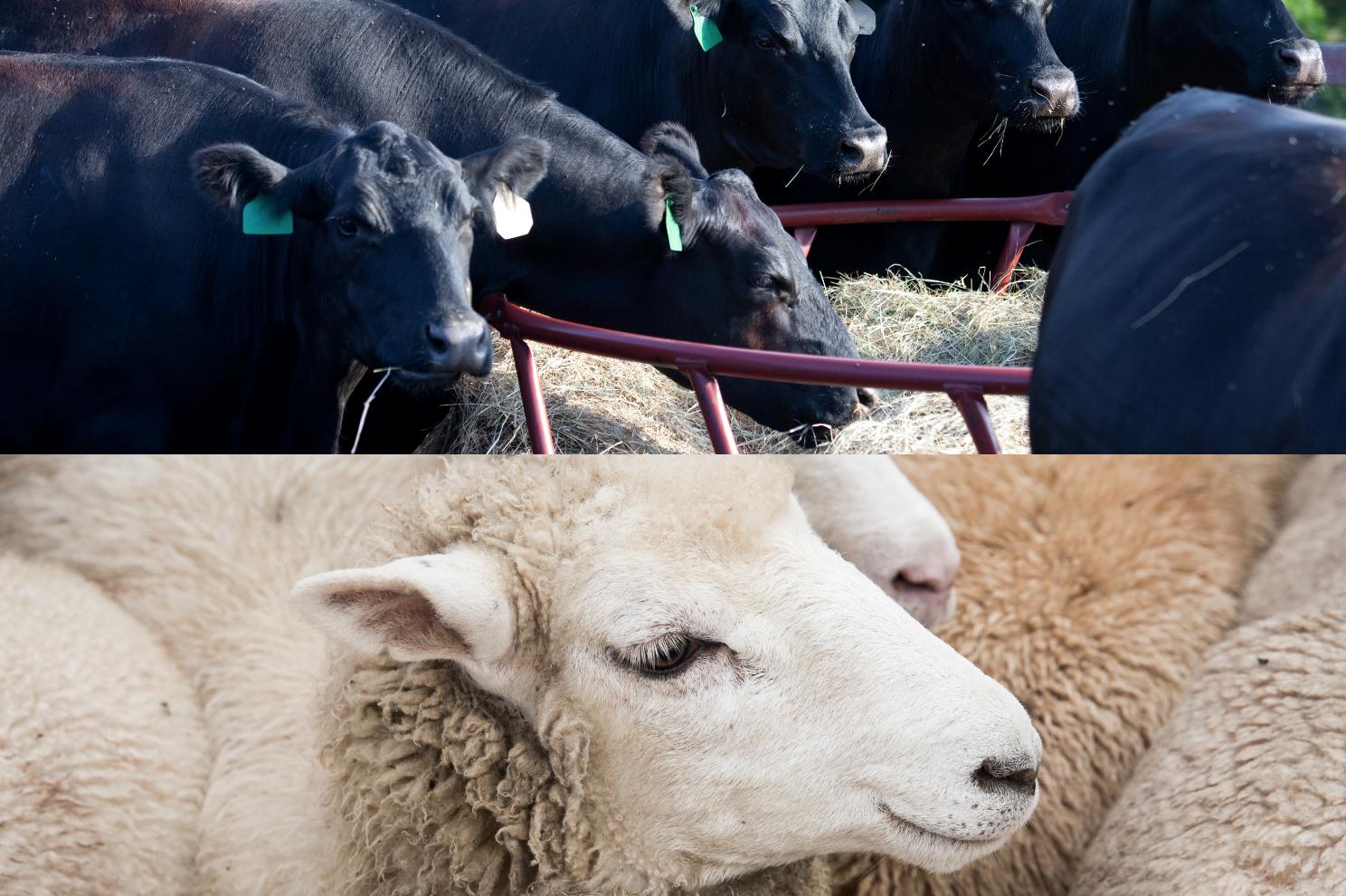 Half Beef + Lamb Share