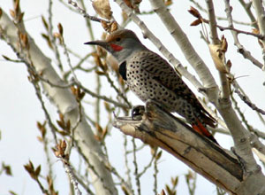 Northern Flicker (male red-shafted)