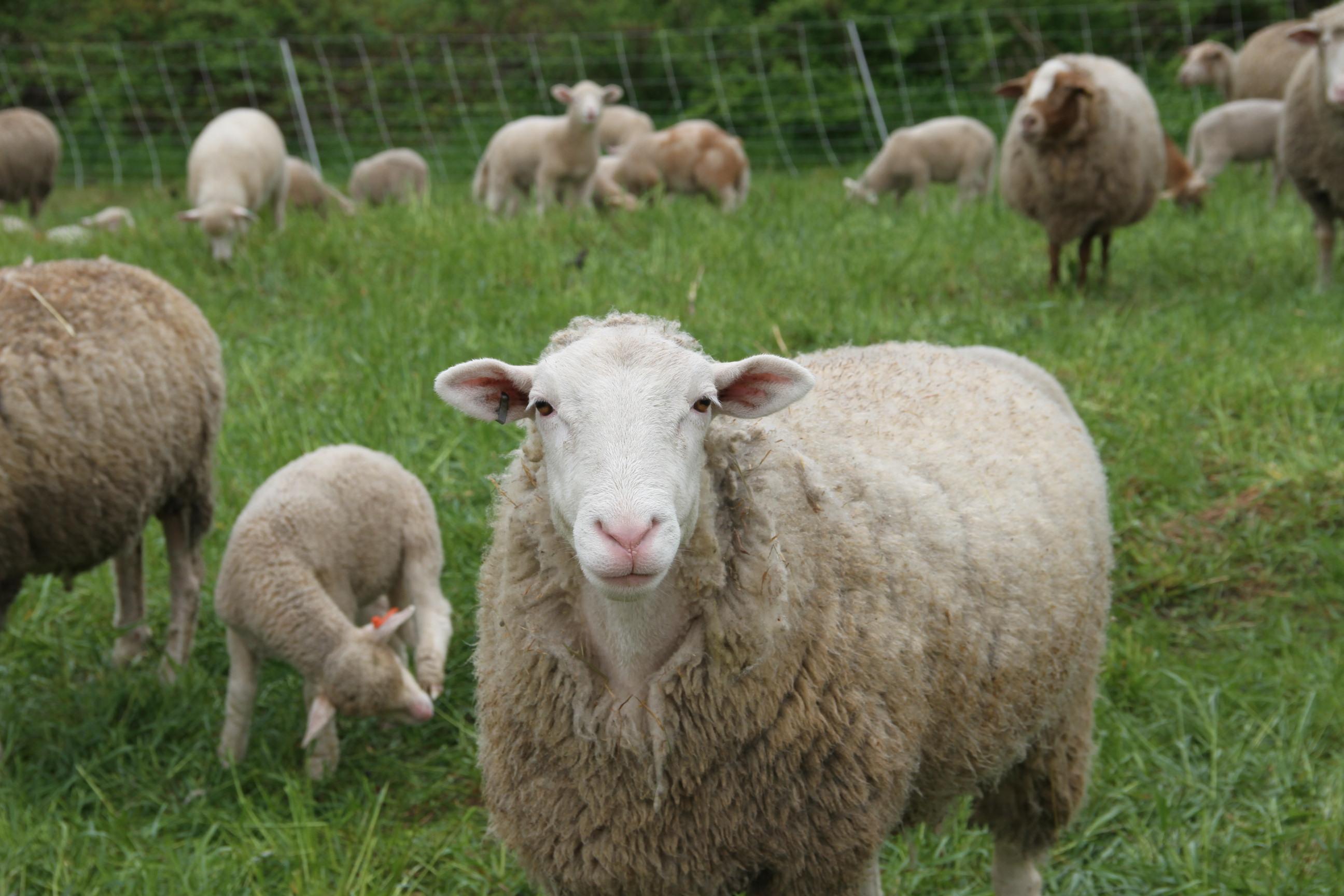 Half Lamb Share