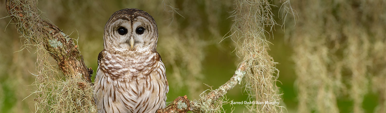 Barred Owl | Bird Gallery | Houston Audubon