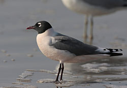 Franklin's Gull (breeding plumage)