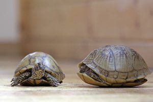 Speedy, Pandora, and Bull the Three-toed Box Turtles