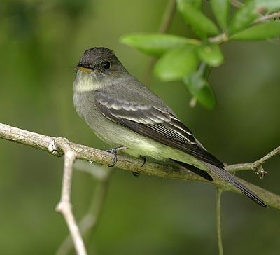 Beak of the Week: Eastern Wood-Pewee