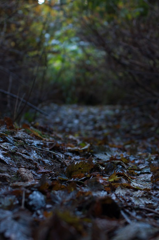 Ward Lake 12, Salmonberry Leaf Path