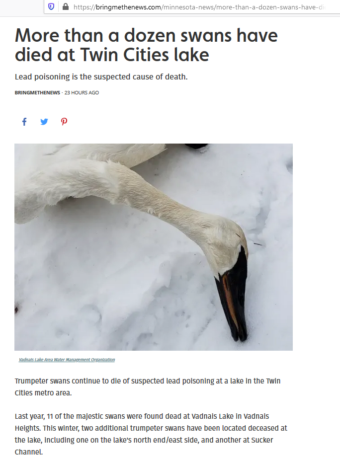 More than a dozen swans have died at Twin Cities Minnesota lake
