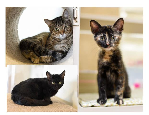 sale cats cattery kittens riversyde lincoln pin omaha for ne