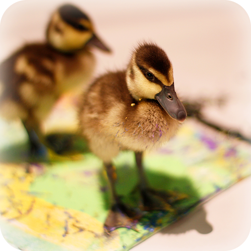 White-Faced Whistling Ducklings