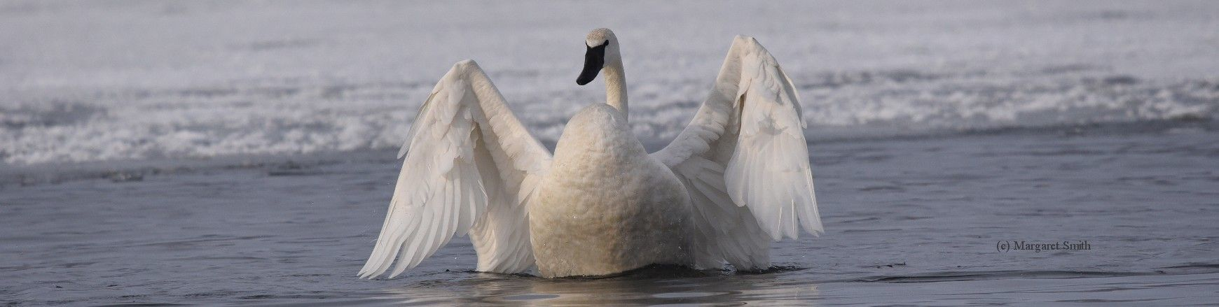 Sign up to receive the monthly Enewsletter of The Trumpeter Swan Society and you'll receive updates about swan issues, events and more! You can unsubscribe any time.