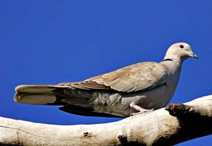 Beak of the Week: Eurasian Collared-Dove