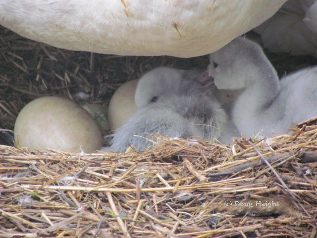 Newly hatched Trumpeter Swan cygnets with more to go!