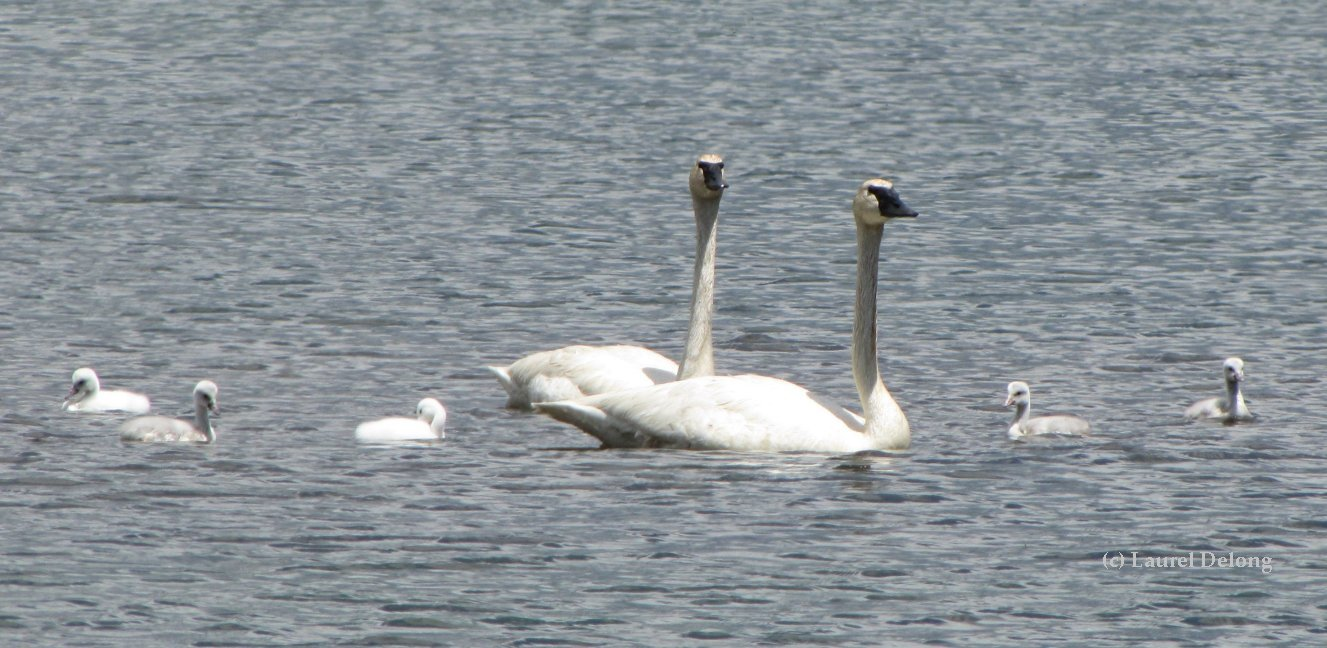 Leucistic cygnets are white