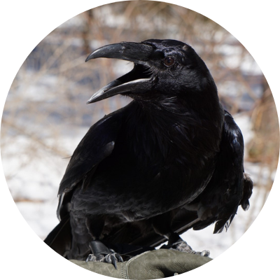 Zach, Audubon's Common Raven